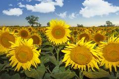 Campo de Sunflowers Fotos de Stock
