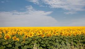 Campo de Sunflowers Foto de archivo