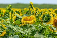 Campo de Sunflowers Fotografia de Stock Royalty Free