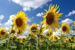 Campo de Sunflowers Fotografía de archivo