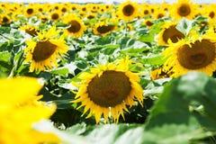 Campo de Sunflowers Fotografía de archivo libre de regalías