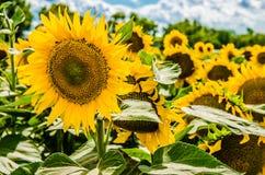 Campo de Sunflowers Imágenes de archivo libres de regalías