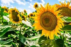 Campo de Sunflowers Imagen de archivo