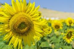 Campo de Sunflowers Fotos de archivo