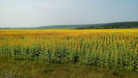 Campo de Sunflowers Foto de Stock