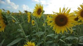 Campo de Sunflowers metrajes