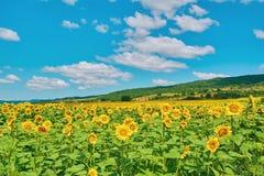 Campo de Sunflowers Imagens de Stock Royalty Free