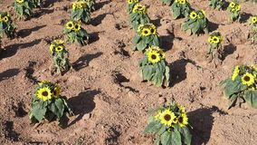 Campo de Sunflowers almacen de metraje de vídeo