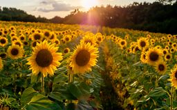 Campo de Sunflowers Flores dos girassóis Paisagem de uma exploração agrícola do girassol Um campo dos girassóis altos na montanha fotografia de stock royalty free