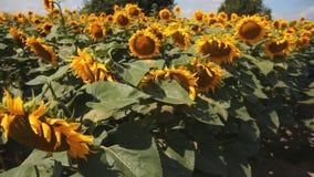 Campo de Sunflowers Uma grande flor de um girassol vídeos de arquivo