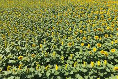 Campo de Sunflowers Vista superior imagem de stock