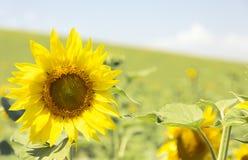 Campo de Sunflowerss Imagen de archivo libre de regalías