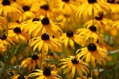 Campo de Susan Black-Eyed Fotos de Stock Royalty Free