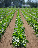 Campo de tabaco Fotografia de Stock Royalty Free