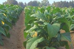 Campo de tabaco Foto de archivo libre de regalías