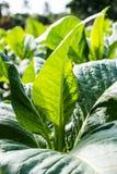 Campo de tabaco Imagen de archivo libre de regalías