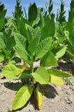 Campo de tabaco em uma vila Imagem de Stock