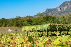 Campo de tabaco en el valle de Vinales en Cuba Imagenes de archivo