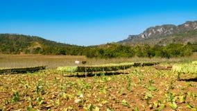 Campo de tabaco en el valle de Vinales en Cuba Fotografía de archivo libre de regalías