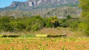 Campo de tabaco en el valle de Vinales en Cuba Imagen de archivo libre de regalías