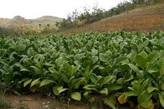 Campo de tabaco en un campo de Vinales en Cuba foto de archivo