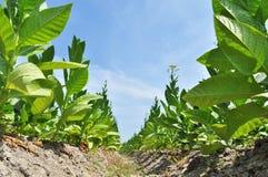 Campo de tabaco en una aldea Imagen de archivo libre de regalías