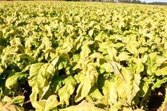 Campo de tabaco hermoso Imágenes de archivo libres de regalías