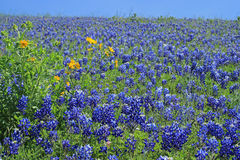 Campo de Texas Bluebonnet Imagem de Stock Royalty Free