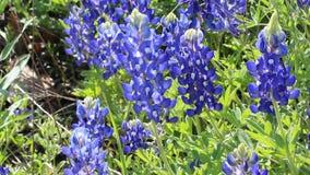 Campo de Texas Bluebonnet en primavera almacen de metraje de vídeo