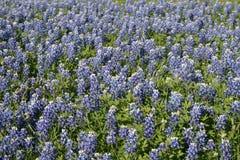 Campo de Texas dos bluebonnets fotos de stock