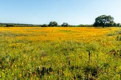 Campo de Texas Wildflowers amarillo Imagen de archivo libre de regalías