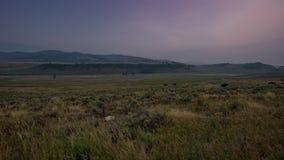 Campo de TL Yellowstone Lamar Valley Bison Roam Across metrajes
