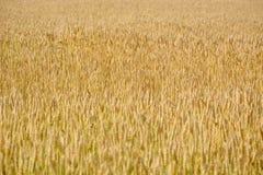 Campo de trigo Fotos de Stock