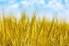 Campo de trigo Foto de Stock Royalty Free