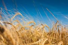 Campo de trigo Fotografía de archivo libre de regalías