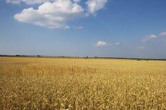 Campo de trigo. Imagem de Stock