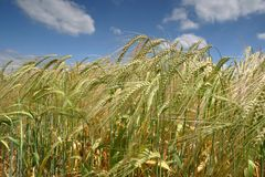 Campo de trigo Imagen de archivo