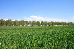 Campo de trigo. Imágenes de archivo libres de regalías