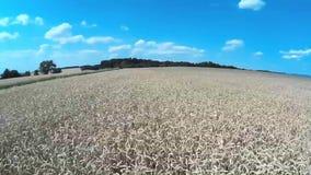 Campo de trigo almacen de metraje de vídeo