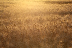 Campo de trigo Fotos de archivo