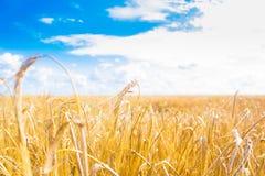 Campo de trigo Fotos de Stock Royalty Free