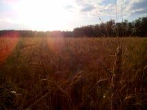 Campo de trigo Foto de archivo