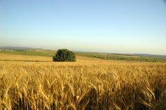 Campo de trigo imagens de stock