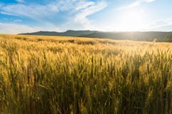 Campo de trigo Fotografia de Stock
