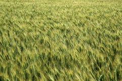 Campo de trigo imagens de stock royalty free