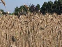 Campo de trigo filme