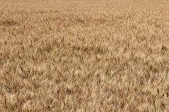Campo de trigo Imagen de archivo libre de regalías