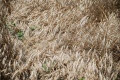 Campo de trigo Fotografía de archivo