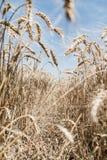 Campo de trigo Fotos de archivo libres de regalías