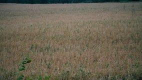 Campo de trigo acariciado pelo vento Conceito da saúde do fundo da natureza Ondas de vento maduras do trigo do campo video estoque